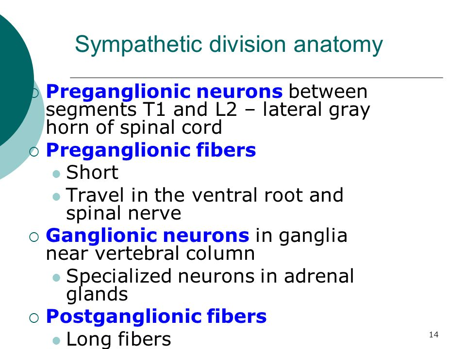 14  Preganglionic neurons between segments T1 and L2 – lateral gray horn of spinal cord  Preganglionic fibers Short Travel in the ventral root and s
