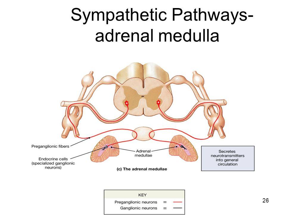 26 Sympathetic Pathways- adrenal medulla
