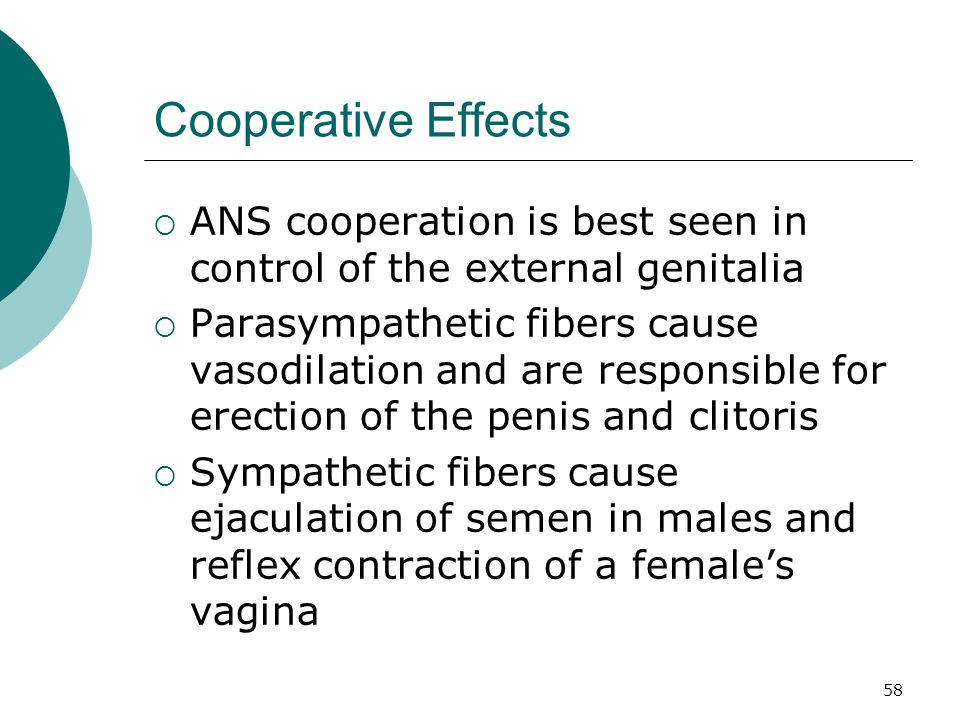 58 Cooperative Effects  ANS cooperation is best seen in control of the external genitalia  Parasympathetic fibers cause vasodilation and are respons