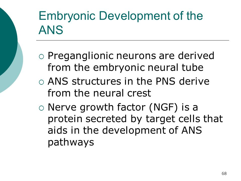 68 Embryonic Development of the ANS  Preganglionic neurons are derived from the embryonic neural tube  ANS structures in the PNS derive from the neu
