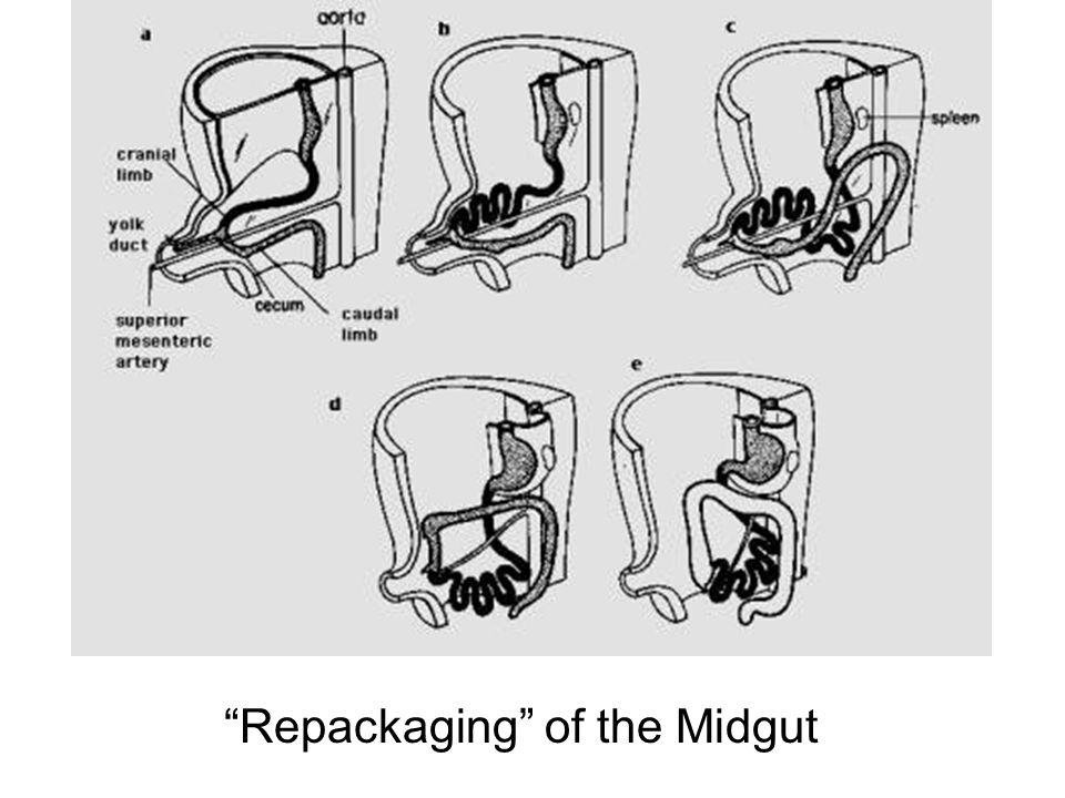 Repackaging of the Midgut