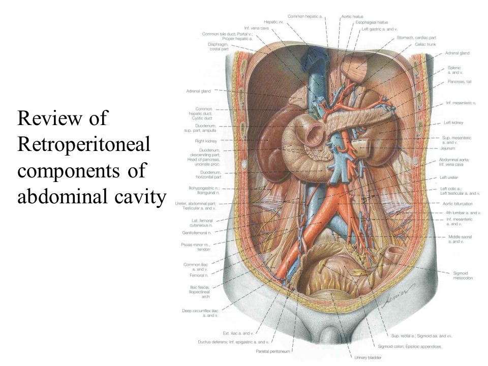 Review of Retroperitoneal components of abdominal cavity