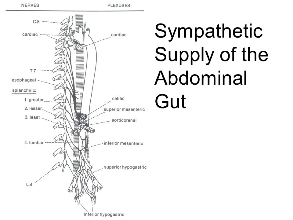 Sympathetic Supply of the Abdominal Gut