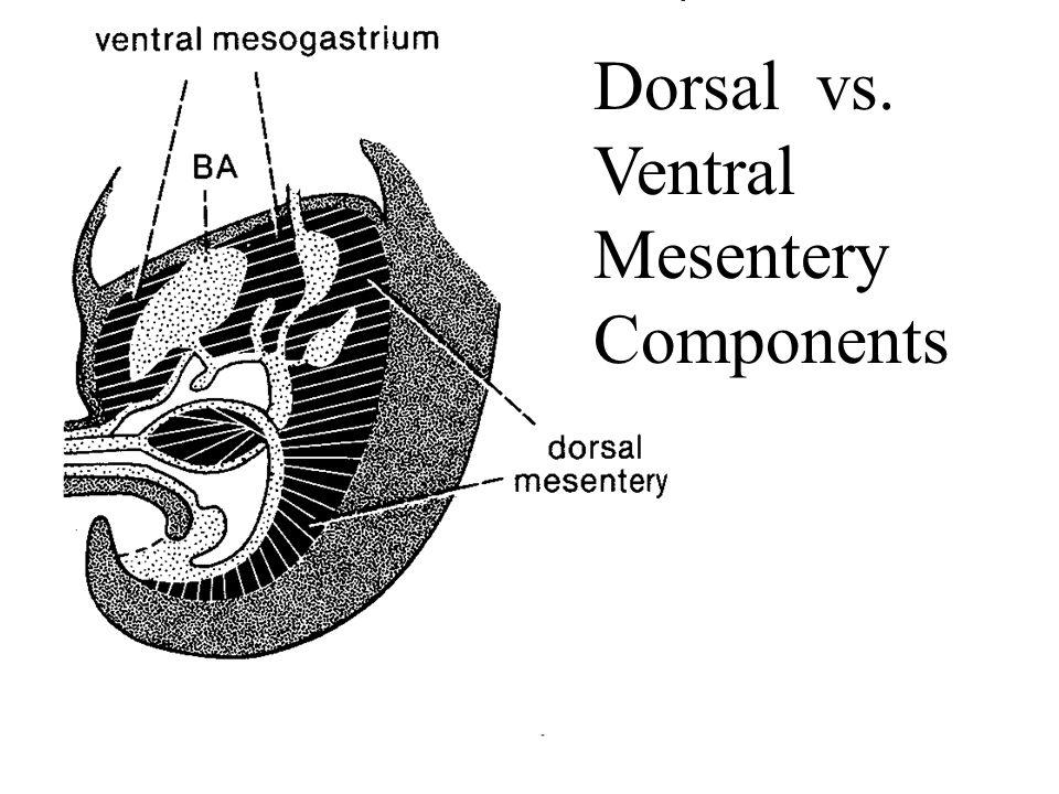 Dorsal vs. Ventral Mesentery Components