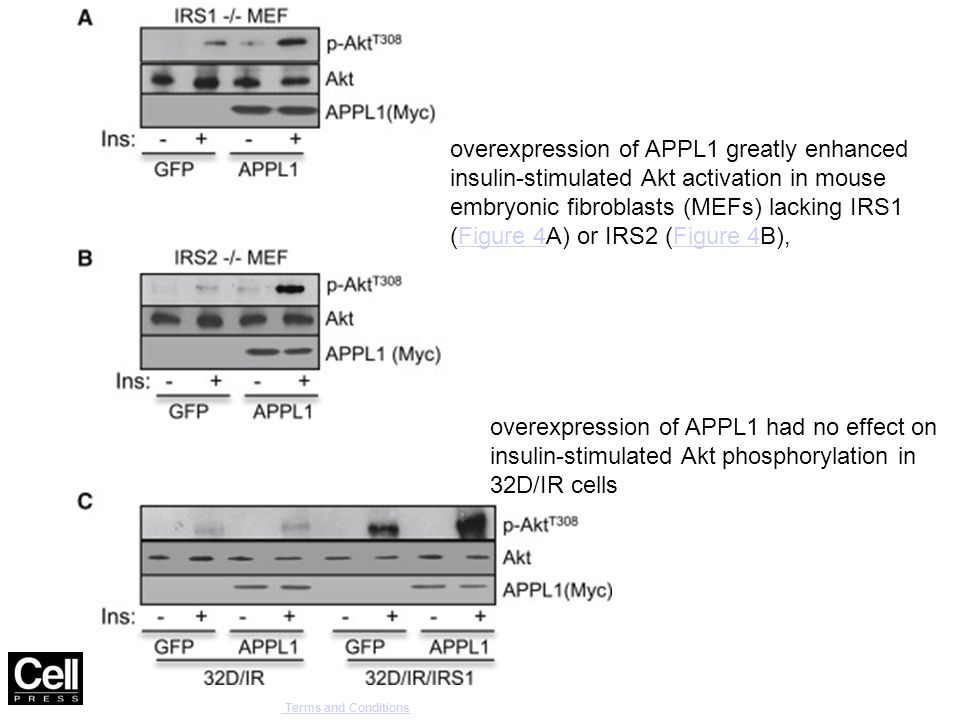 Cell Reports , DOI: ( /j.celrep ) Copyright © 2014 The Authors Terms and Conditions Terms and Conditions overexpression of APPL1 had no effect on insulin-stimulated Akt phosphorylation in 32D/IR cells overexpression of APPL1 greatly enhanced insulin-stimulated Akt activation in mouse embryonic fibroblasts (MEFs) lacking IRS1 (Figure 4A) or IRS2 (Figure 4B),Figure 4