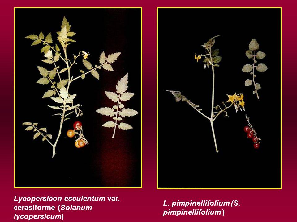 Lycopersicon esculentum var. cerasiforme (Solanum lycopersicum) L.