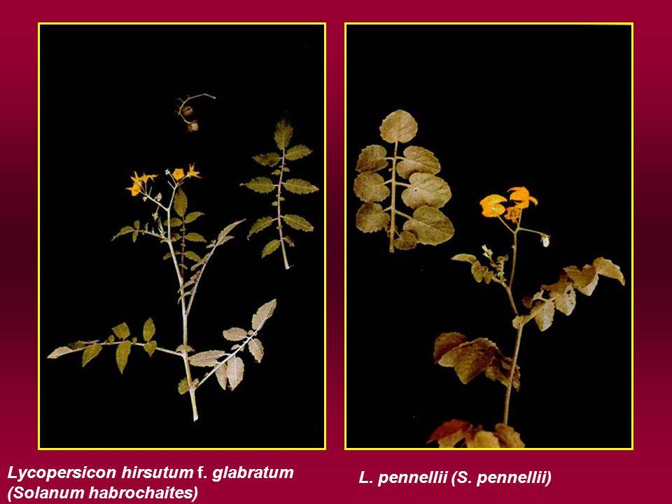 Lycopersicon hirsutum f. glabratum (Solanum habrochaites) L. pennellii (S. pennellii)