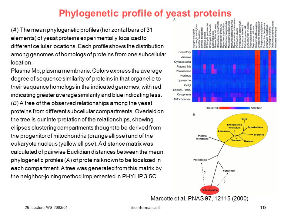 26. Lecture WS 2003/04Bioinformatics III119 Phylogenetic profile of yeast proteins (A) The mean phylogenetic profiles (horizontal bars of 31 elements)