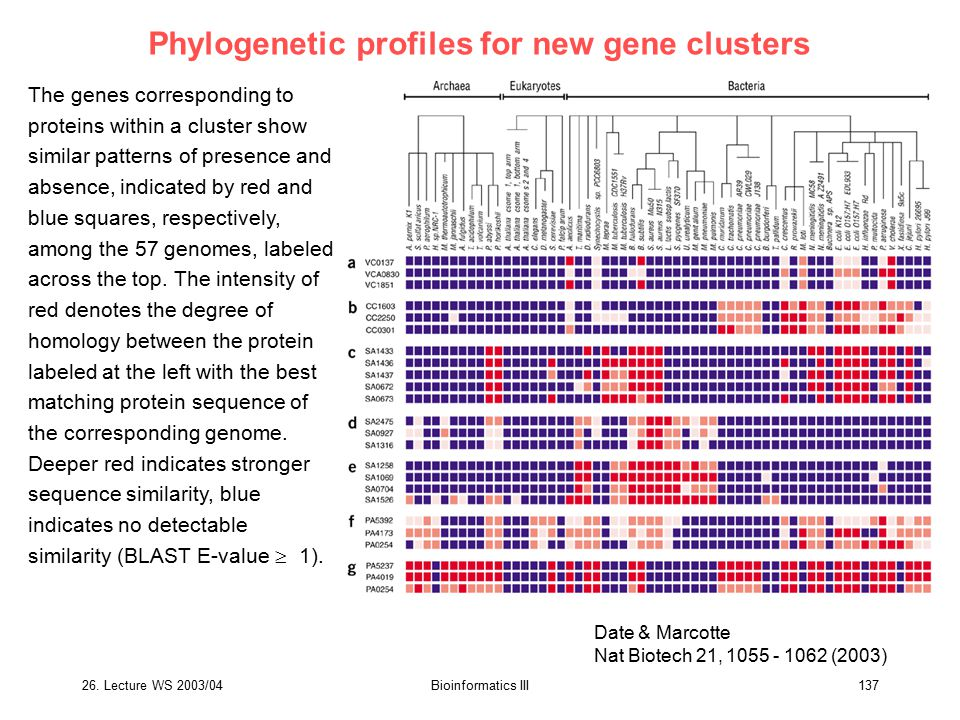 26. Lecture WS 2003/04Bioinformatics III137 Phylogenetic profiles for new gene clusters The genes corresponding to proteins within a cluster show simi