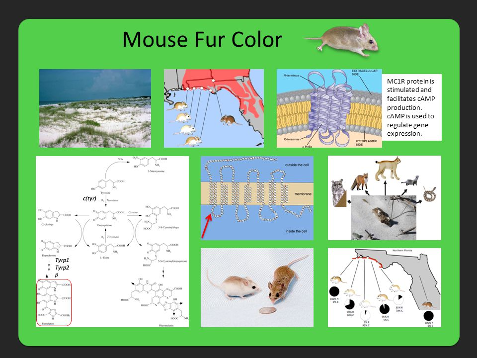 Mouse Fur Color c(tyr) Tyrp1 Tyrp2 p MC1R protein is stimulated and facilitates cAMP production. cAMP is used to regulate gene expression.