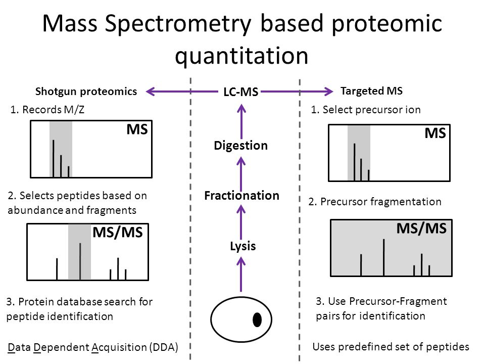 Mass Spectrometry based proteomic quantitation Fractionation Digestion LC-MS Lysis MS Shotgun proteomics Targeted MS 1. Records M/Z 2. Selects peptide