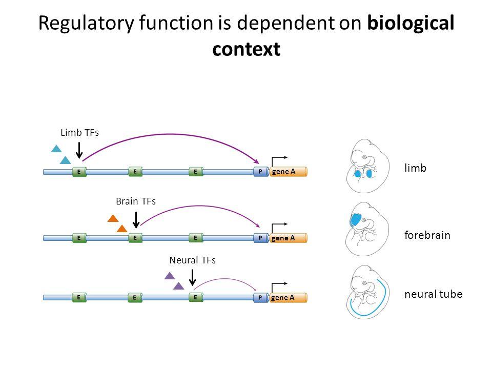 Regulatory function is dependent on biological context forebrain gene A Brain TFs neural tube gene A Neural TFs limb Limb TFs gene A