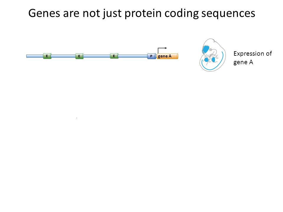 forebrain gene A Brain TFs neural tube gene A Neural TFs limb Limb TFs gene A Expression of gene A Genes are not just protein coding sequences gene A