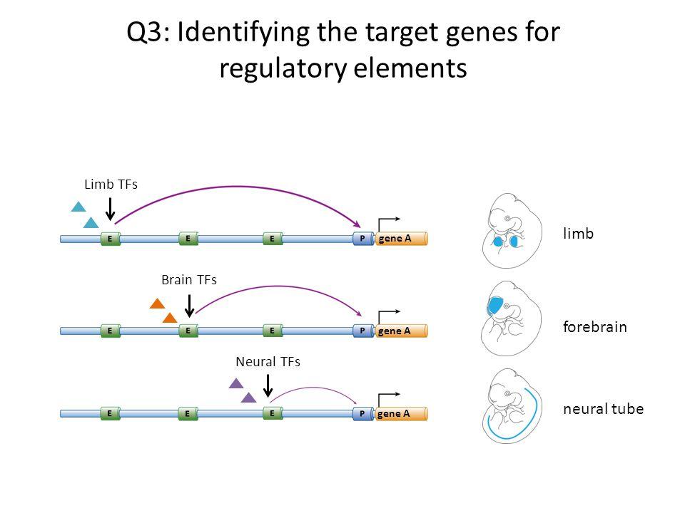 Q3: Identifying the target genes for regulatory elements forebrain gene A Brain TFs neural tube gene A Neural TFs limb Limb TFs gene A