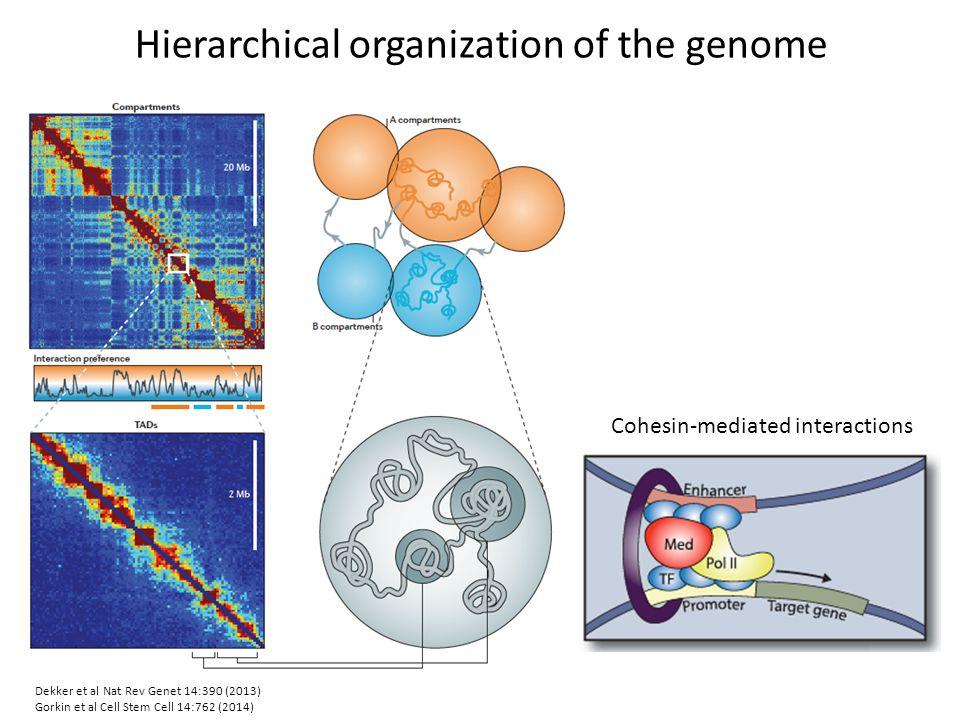 Hierarchical organization of the genome Dekker et al Nat Rev Genet 14:390 (2013) Gorkin et al Cell Stem Cell 14:762 (2014) Cohesin-mediated interactio