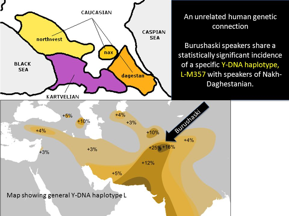 An unrelated human genetic connection Burushaski speakers share a statistically significant incidence of a specific Y-DNA haplotype, L-M357 with speakers of Nakh- Daghestanian.