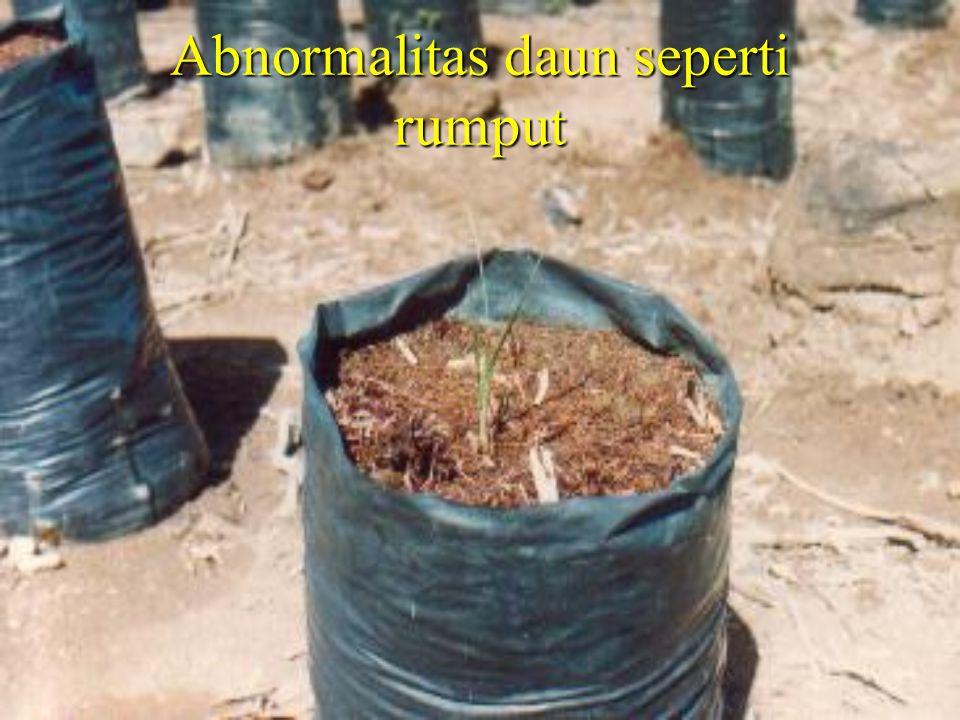Abnormalitas daun seperti rumput