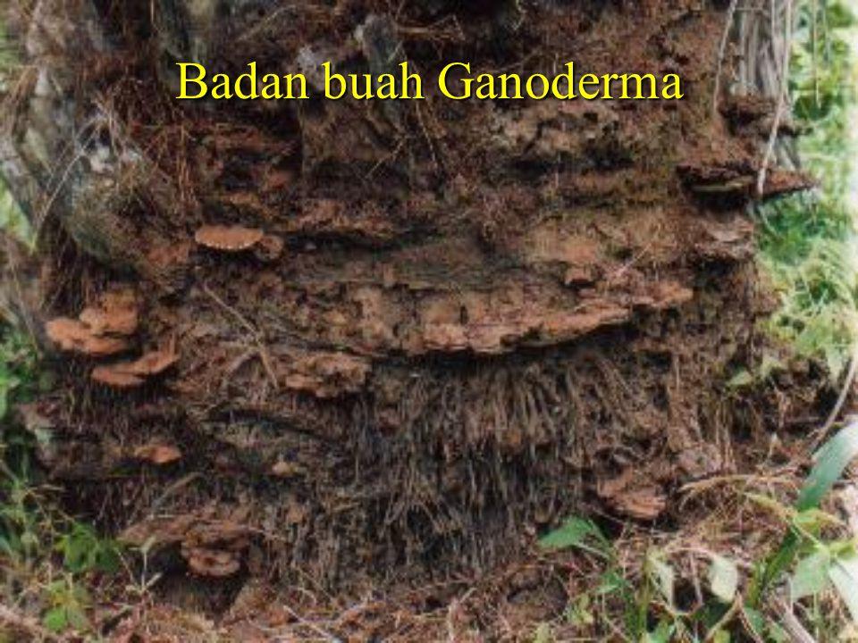 Badan buah Ganoderma