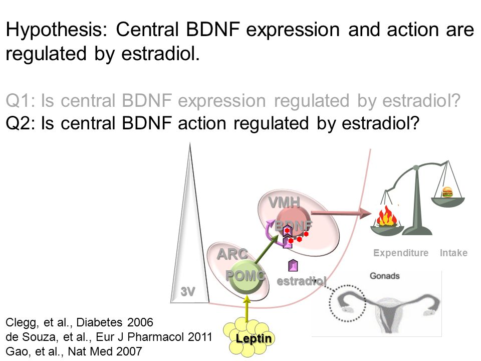 Hypothesis: Central BDNF expression and action are regulated by estradiol.