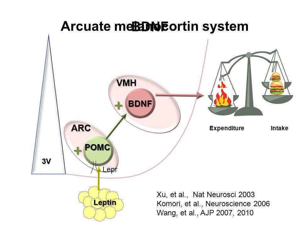 VMH 3V BDNF Leptin ARC POMC Arcuate melanocortin system Xu, et al., Nat Neurosci 2003 Komori, et al., Neuroscience 2006 Wang, et al., AJP 2007, 2010 BDNF + + Expenditure Intake Lepr