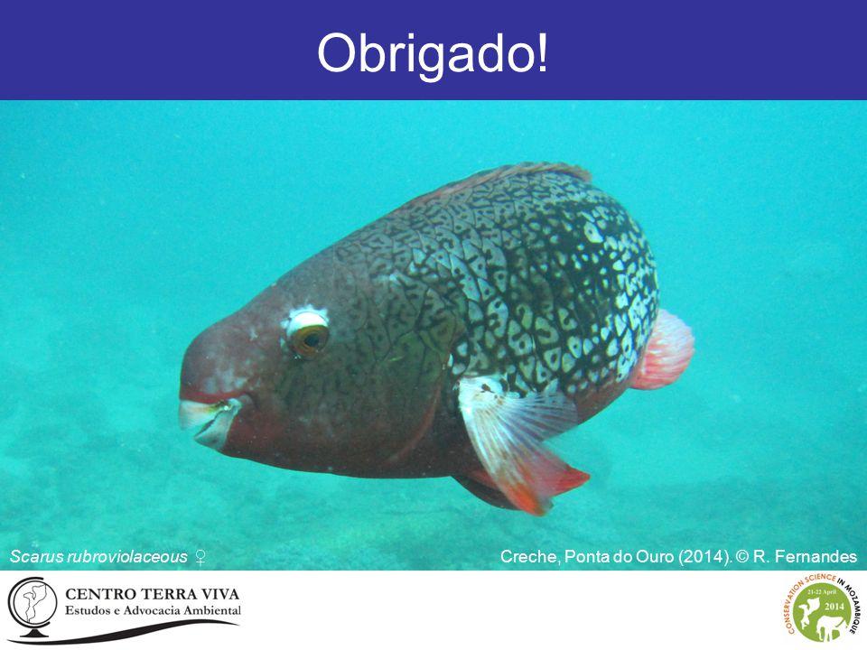 Obrigado! Scarus rubroviolaceous ♀ Creche, Ponta do Ouro (2014). © R. Fernandes