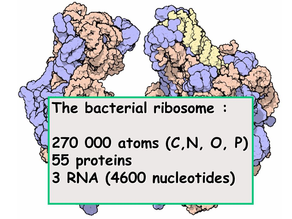 The bacterial ribosome : 270 000 atoms (C,N, O, P) 55 proteins 3 RNA (4600 nucleotides)