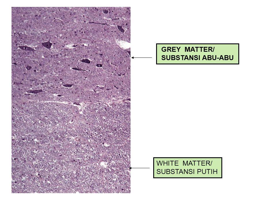 GREY MATTER/ SUBSTANSI ABU-ABU WHITE MATTER/ SUBSTANSI PUTIH