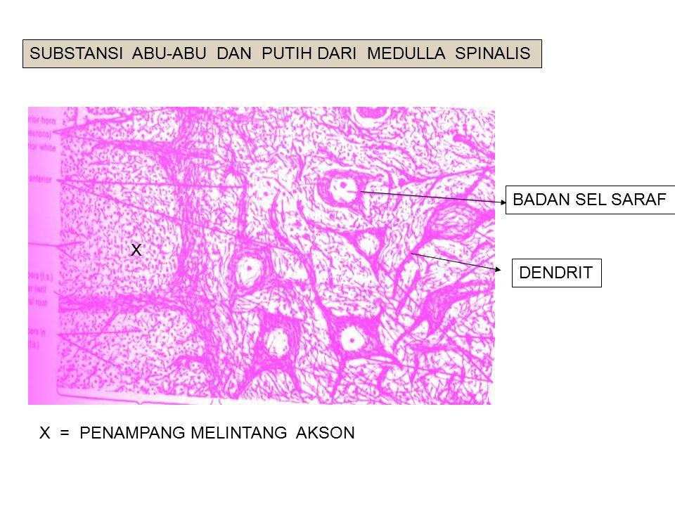 X BADAN SEL SARAF X = PENAMPANG MELINTANG AKSON DENDRIT SUBSTANSI ABU-ABU DAN PUTIH DARI MEDULLA SPINALIS