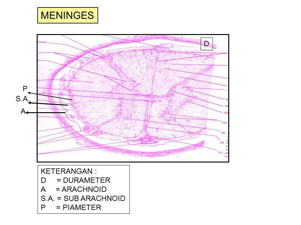 D P S.A. A KETERANGAN : D = DURAMETER A = ARACHNOID S.A. = SUB ARACHNOID P = PIAMETER MENINGES