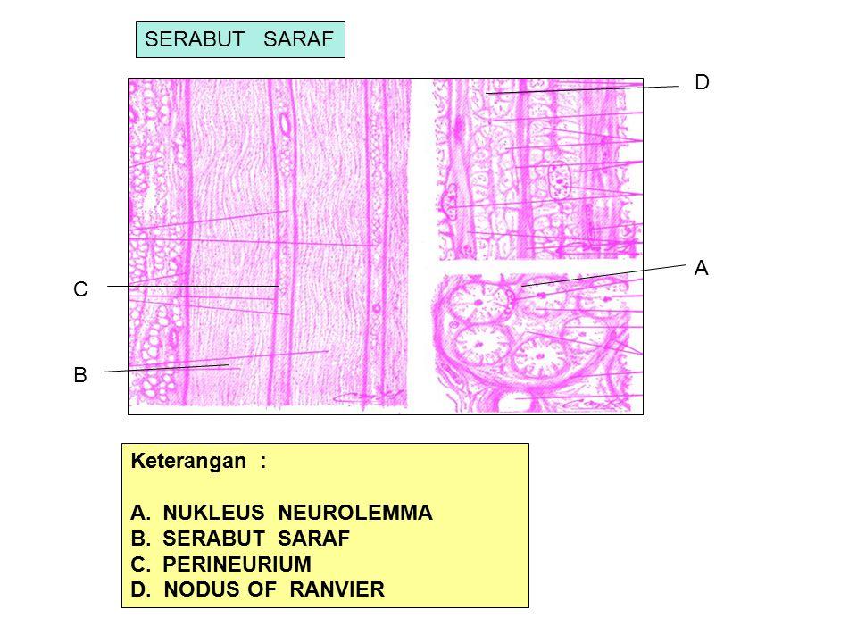 A B C Keterangan : A.NUKLEUS NEUROLEMMA B.SERABUT SARAF C.PERINEURIUM D. NODUS OF RANVIER D SERABUT SARAF