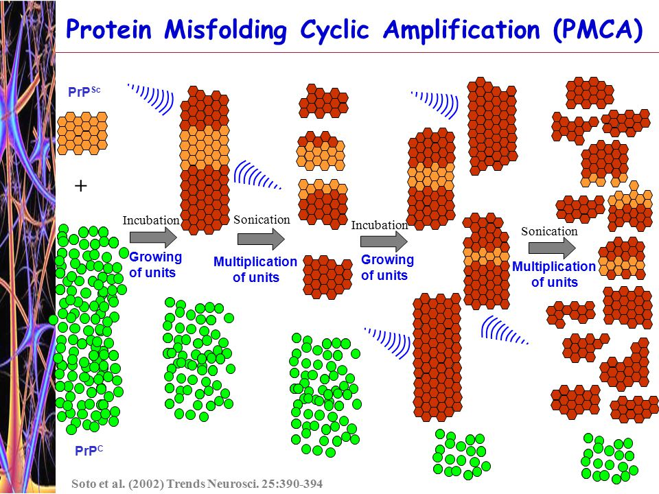 PrP C Incubation Growing of units Incubation Growing of units + Protein Misfolding Cyclic Amplification (PMCA) PrP Sc Soto et al.