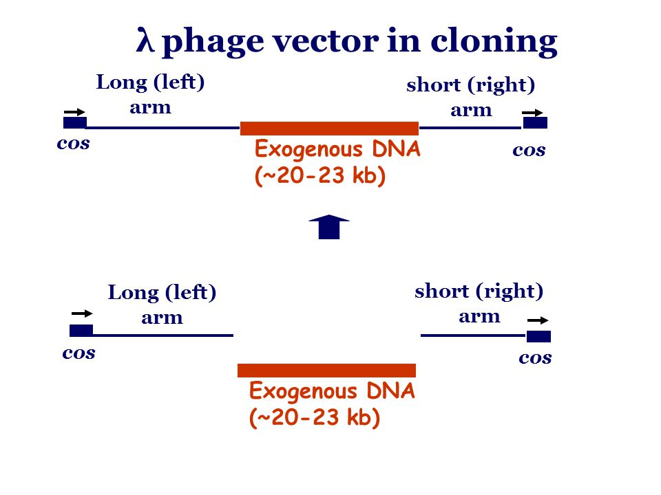 cos Long (left) arm short (right) arm Exogenous DNA (~20-23 kb) λ phage vector in cloning cos Long (left) arm short (right) arm Exogenous DNA (~20-23 kb)