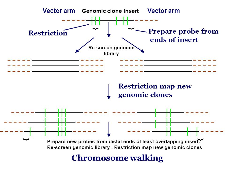 }} }} Vector arm Genomic clone insert Vector arm Prepare probe from ends of insert Re-screen genomic library Restriction Restriction map new genomic clones Prepare new probes from distal ends of least overlapping insert.