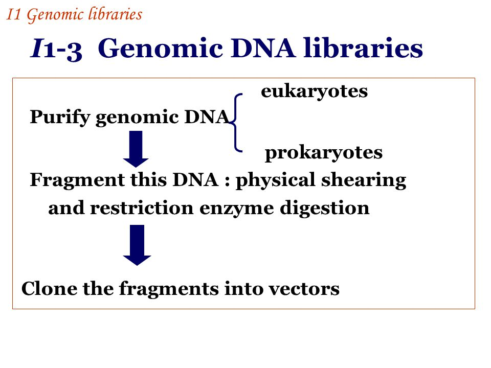 I1-3 Genomic DNA libraries Purify genomic DNA Fragment this DNA : physical shearing and restriction enzyme digestion eukaryotes prokaryotes Clone the fragments into vectors I1 Genomic libraries