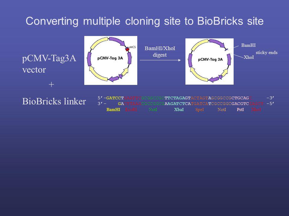 5'-GATCCTGAATTCGCGGCCGCTTCTAGAGTACTAGTAGCGGCCGCTGCAGC -3' 3'- GACTTAAGCGCCGGCGAAGATCTCATGATCATCGCCGGCGACGTCGAGCT -5' BamHI EcoRI NotI XbaI SpeI NotI PstI XhoI BioBricks linker pCMV-Tag3A vector BamHI XhoI sticky ends BamHI/XhoI digest + Converting multiple cloning site to BioBricks site