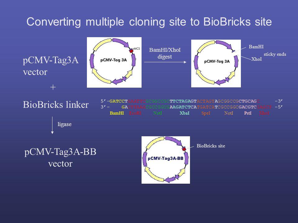 5'-GATCCTGAATTCGCGGCCGCTTCTAGAGTACTAGTAGCGGCCGCTGCAGC -3' 3'- GACTTAAGCGCCGGCGAAGATCTCATGATCATCGCCGGCGACGTCGAGCT -5' BamHI EcoRI NotI XbaI SpeI NotI PstI XhoI BioBricks linker pCMV-Tag3A vector BamHI XhoI sticky ends BamHI/XhoI digest + Converting multiple cloning site to BioBricks site pCMV-Tag3A-BB vector pCMV-Tag3A-BB BioBricks site ligase