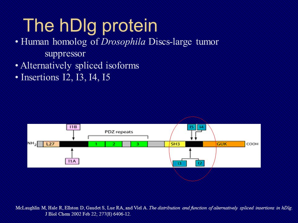 The hDlg protein McLaughlin M, Hale R, Ellston D, Gaudet S, Lue RA, and Viel A.
