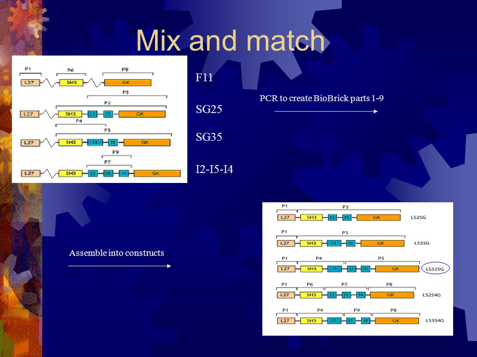 Mix and match PCR to create BioBrick parts 1-9 Assemble into constructs F11 SG25 SG35 I2-I5-I4