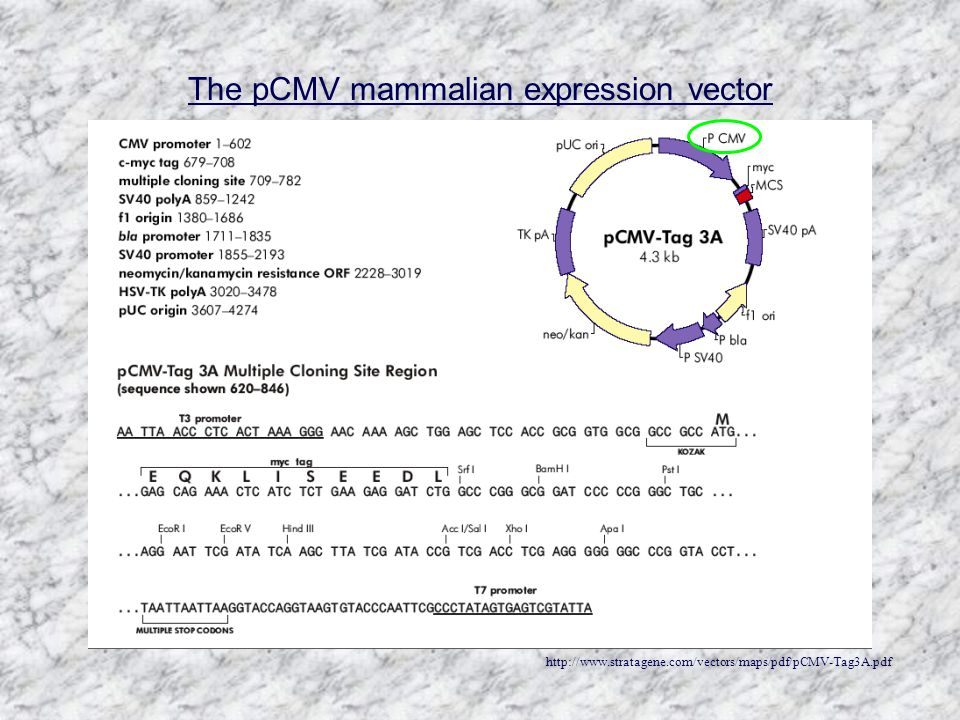 http://www.stratagene.com/vectors/maps/pdf/pCMV-Tag3A.pdf The pCMV mammalian expression vector
