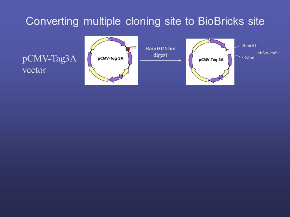 pCMV-Tag3A vector BamHI XhoI sticky ends BamHI/XhoI digest Converting multiple cloning site to BioBricks site