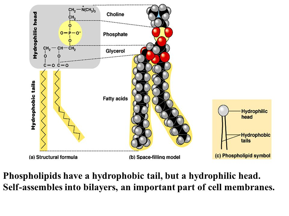 Phospholipids have a hydrophobic tail, but a hydrophilic head.