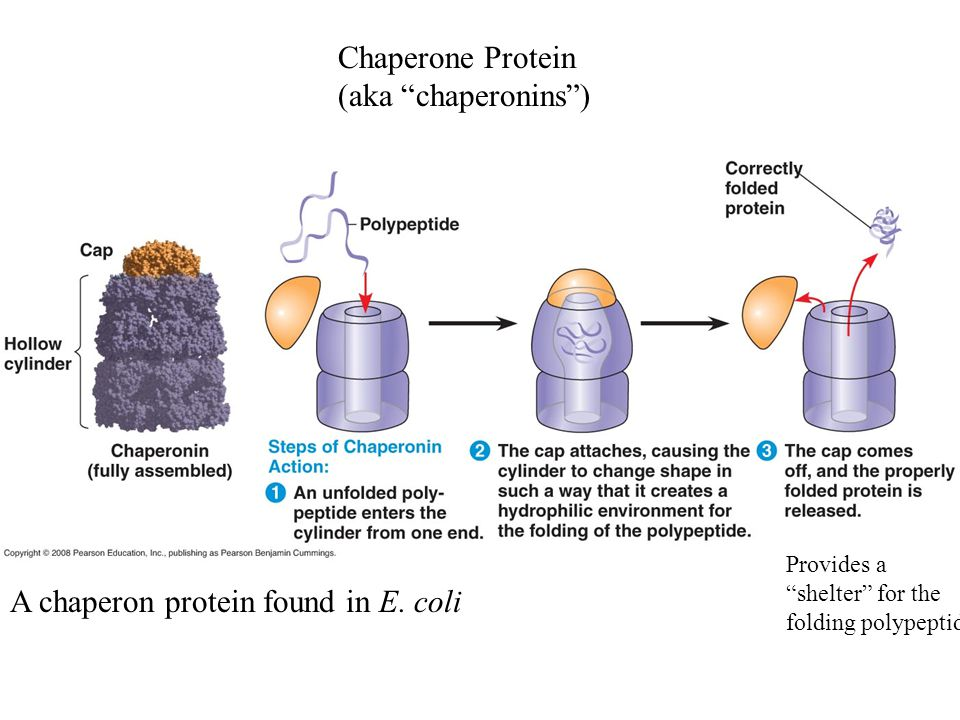 """Chaperone Protein (aka """"chaperonins"""") A chaperon protein found in E. coli Provides a """"shelter"""" for the folding polypeptide"""