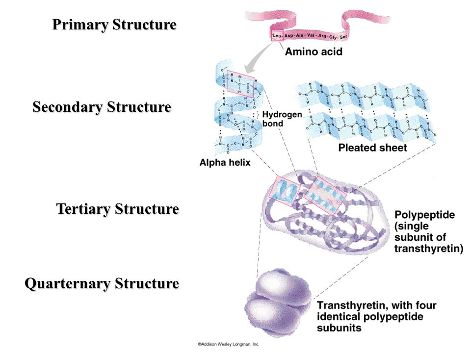 Primary Structure Secondary Structure Tertiary Structure Quarternary Structure