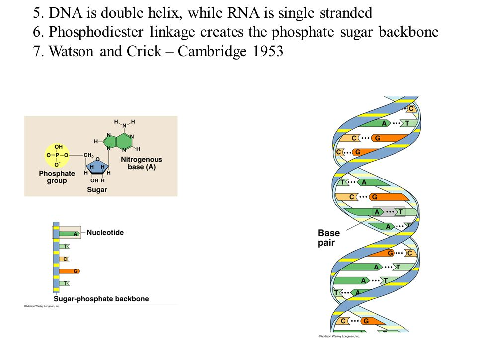 5. DNA is double helix, while RNA is single stranded 6.