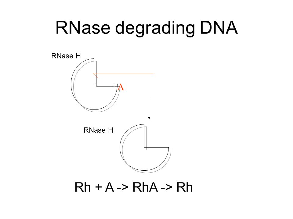RNase degrading DNA A RNase H Rh + A -> RhA -> Rh