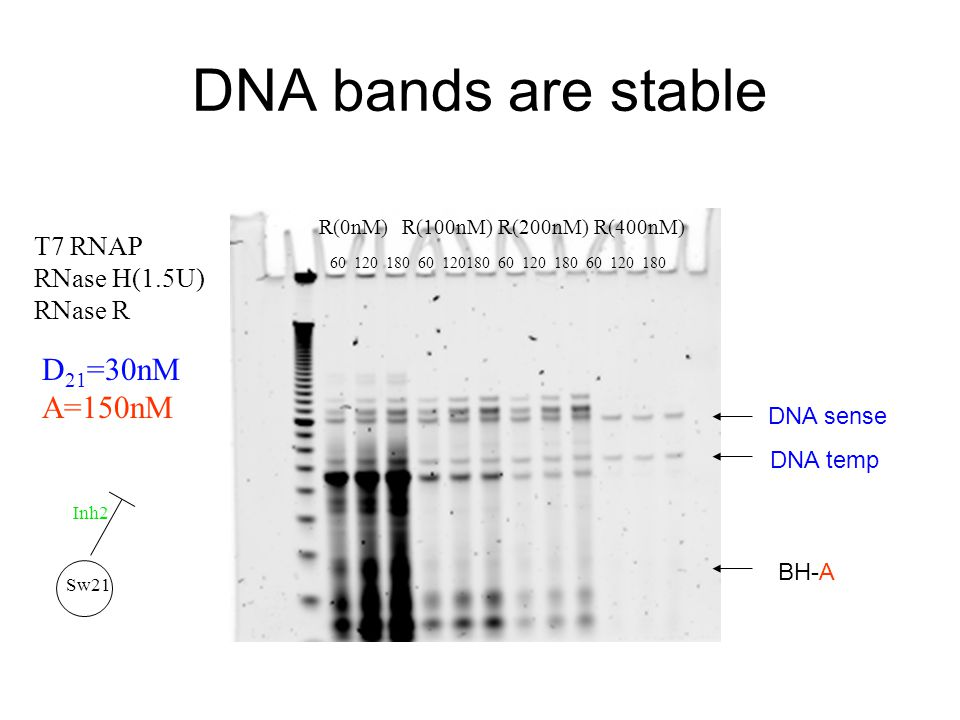 DNA bands are stable R(0nM)R(100nM)R(200nM)R(400nM) D 21 =30nM A=150nM T7 RNAP RNase H(1.5U) RNase R 60120 60180 12060 180 Sw21 Inh2 DNA sense DNA tem