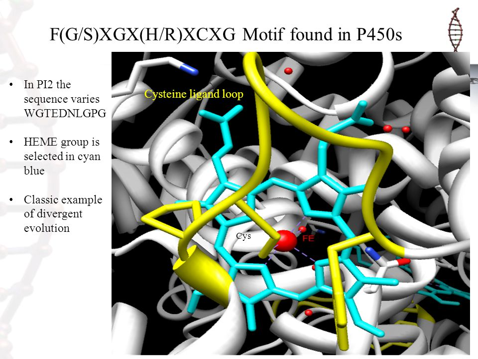 F(G/S)XGX(H/R)XCXG Motif found in P450s Cys In PI2 the sequence varies WGTEDNLGPG HEME group is selected in cyan blue Classic example of divergent evo