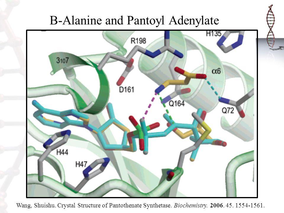 B-Alanine and Pantoyl Adenylate Wang, Shuishu. Crystal Structure of Pantothenate Synthetase. Biochemistry. 2006. 45. 1554-1561.