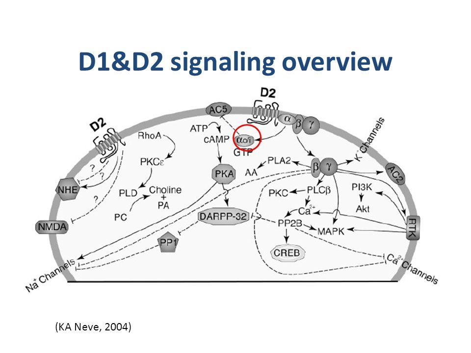 D1&D2 signaling overview (KA Neve, 2004)