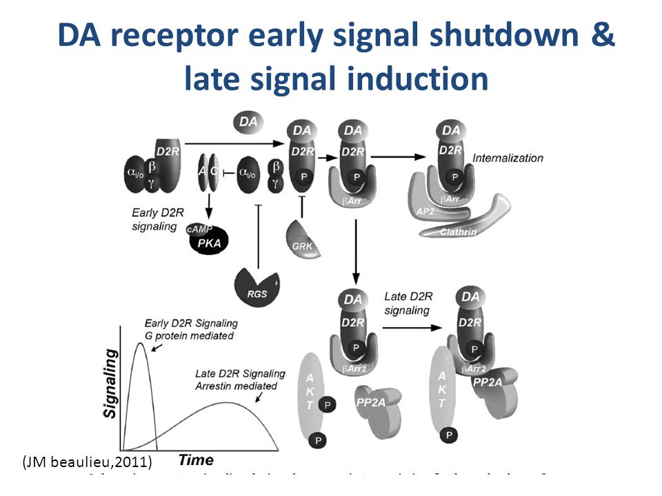 DA receptor early signal shutdown & late signal induction (JM beaulieu,2011)